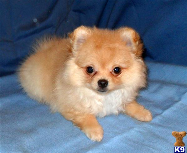 Pomeranian Puppies For Sale: Girl Pomeranian Puppies For Sale
