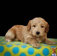 goldendoodles puppy posted by alhupp