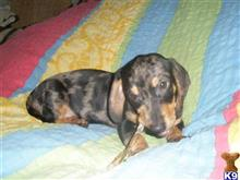 dachshund puppy posted by allariver