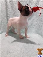 french bulldog puppy posted by allariver