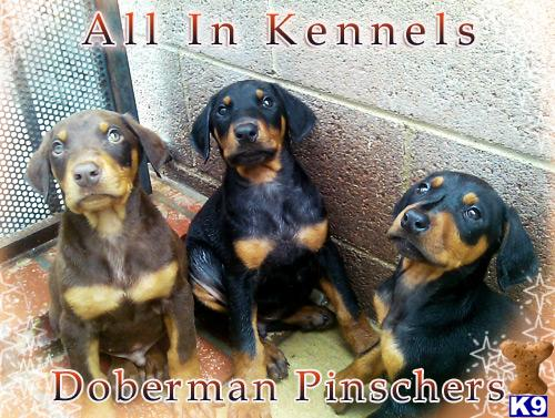 doberman pinscher puppy posted by allinkennels