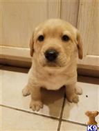 labrador retriever puppy posted by allison_flagg