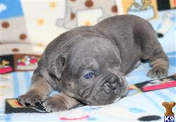 old english bulldog puppy posted by allot of bully