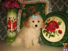 poodle puppy posted by alls61108
