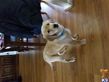 Image Result For Golden Retriever Puppies Petaluma Ca