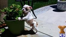 english bulldog puppy posted by amargie62