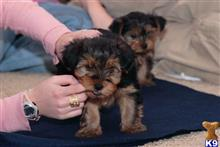 yorkshire terrier puppy posted by amargie62