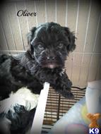 shih tzu puppy posted by amatskennel