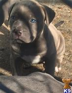 american pit bull puppy posted by amber_2013