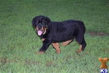 rottweiler puppy posted by ambergil443