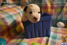 jack russell terrier puppy posted by amelgoza3