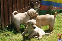 labrador retriever puppy posted by amelia3000
