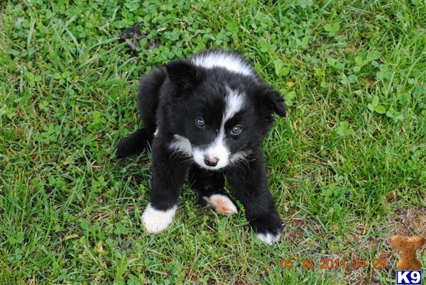 Small Border Collie Pup Best Photos Of Border Imagedgeorg