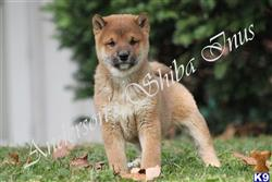 shiba inu puppy posted by andersonsshibainus