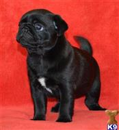pug puppy posted by andrewbill