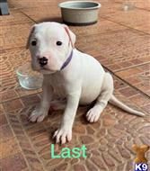 dogo argentino puppy posted by angelluis9017