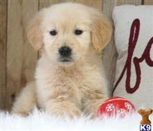 golden retriever puppy posted by ansui