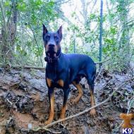 Doberman Pinscher Stud Dogs in Texas