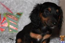 dachshund puppy posted by applespuppyorchard