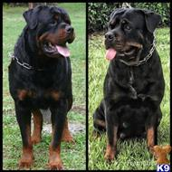 rottweiler puppy posted by arenas