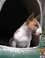 bull terrier puppy posted by argentine