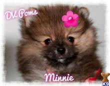 pomeranian puppy posted by ashleybrooke1960