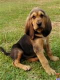 bloodhound puppy posted by ashleysharp