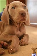 weimaraner puppy posted by ashucarlosebot