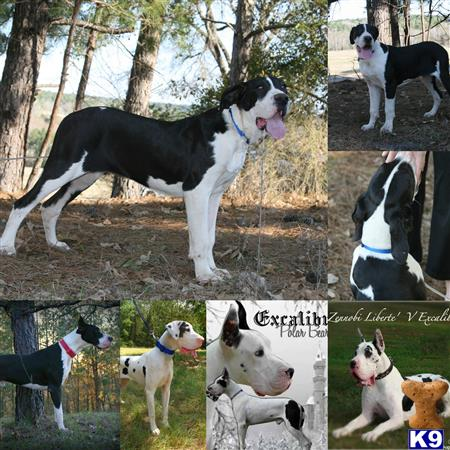 Adult Great Danes For Sale - Teenage - 54.5KB