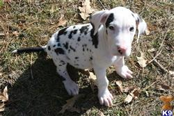 great dane puppy posted by askmdk