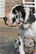 great dane puppy posted by asogd