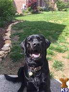 Labrador Retriever Stud Dogs in Tennessee