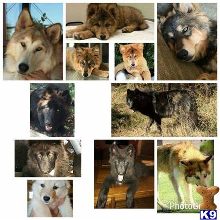 azwolfdogs Picture 2