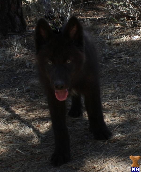 azwolfdogs Picture 3