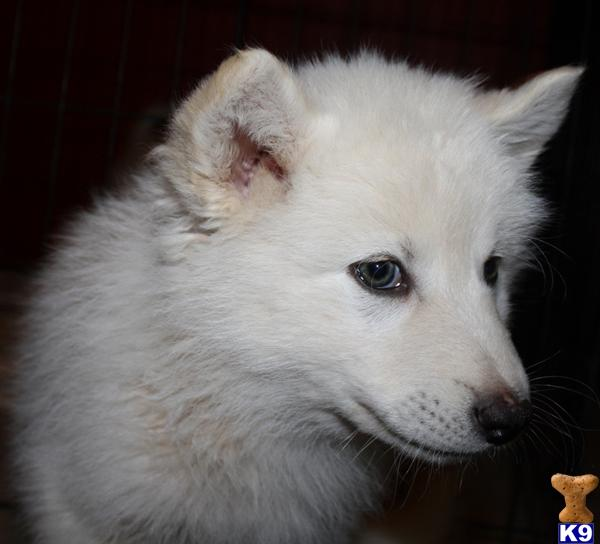 wolf dog puppy posted by azwolfdogs