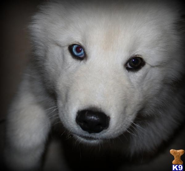 Pictures of baby wolf dogs