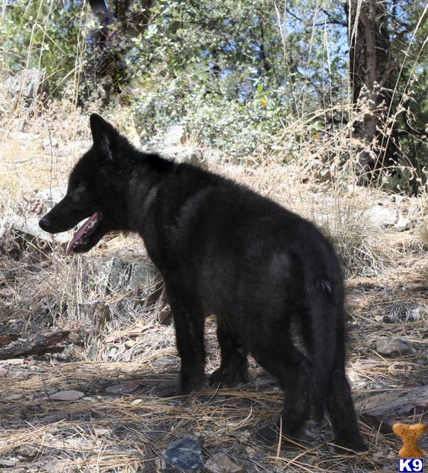 Wolf Dog Puppy For Sale: ACCEPTING DEPOSITS FOR OUR BLACK
