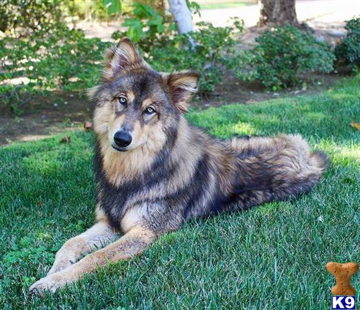 Wolf Dog Puppy for Sale: Red sables and Black cherries in