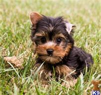 yorkshire terrier puppy posted by baileyr361