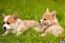 pembroke welsh corgi puppy posted by bamifrends