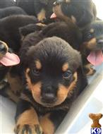 rottweiler puppy posted by bayarearotties