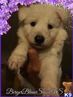 white swiss shepherd puppy posted by bbsus