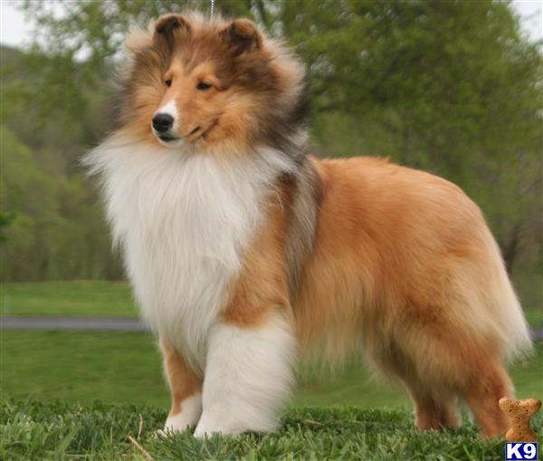 National Dog Show  Shetland Sheepdog