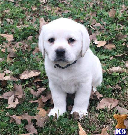 labrador retriever puppy posted by bdoll99