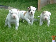 american bulldog puppy posted by beagle123