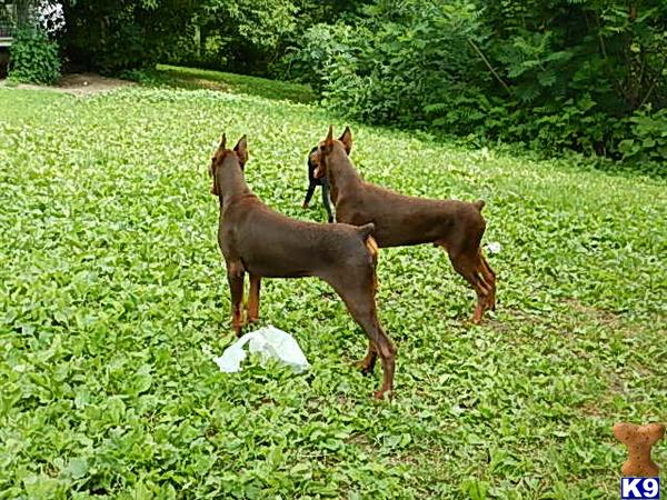 Red Male Doberman Pinscher Puppy #343