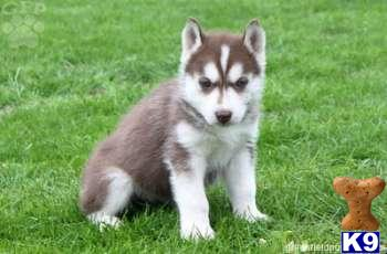siberian husky puppy puppies for sale in pa siberian husky puppies for ...