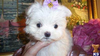 LILLY  TEACUP MALTESE AT YORKIEBABIES.COM