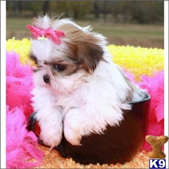Shitzu Puppies on Female Imperial Shih Tzu Just Gorgeous   Shih Tzu Puppies For Sale
