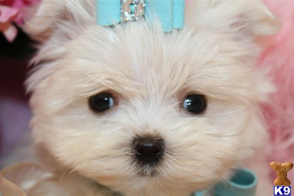 YORKIEBABIES.COM MICRO TEACUP MALTESE PUPPIES 954-324-0149